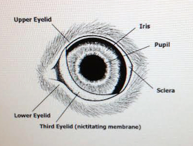 eyeball sketch with labels
